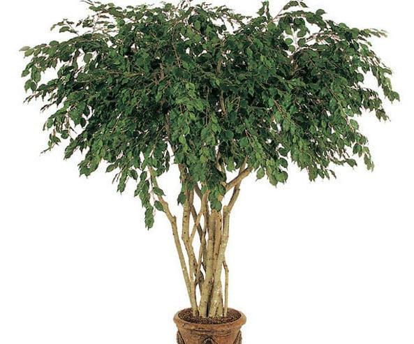 Ficus - Benjamin