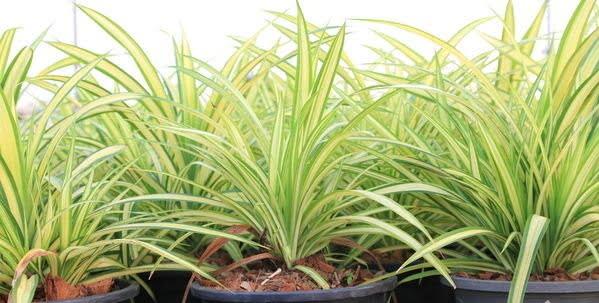 Spider Plant - Kurdele Çiçeği